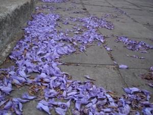 Flores de jacaranda de Jones Poa
