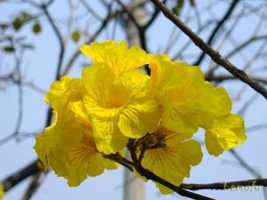 flor do ipê